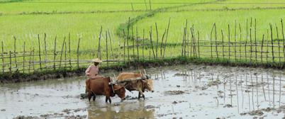 Campos de arroz entre Mandalay y Myitkyina